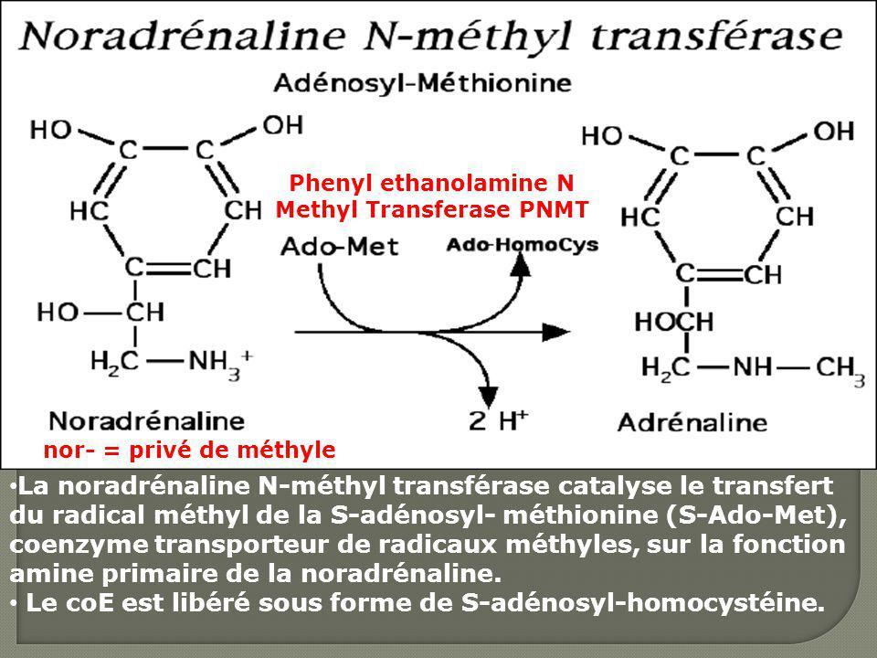 La noradrénaline N-méthyl transférase catalyse le transfert du radical méthyl de la S-adénosyl- méthionine (S-Ado-Met), coenzyme transporteur de radic