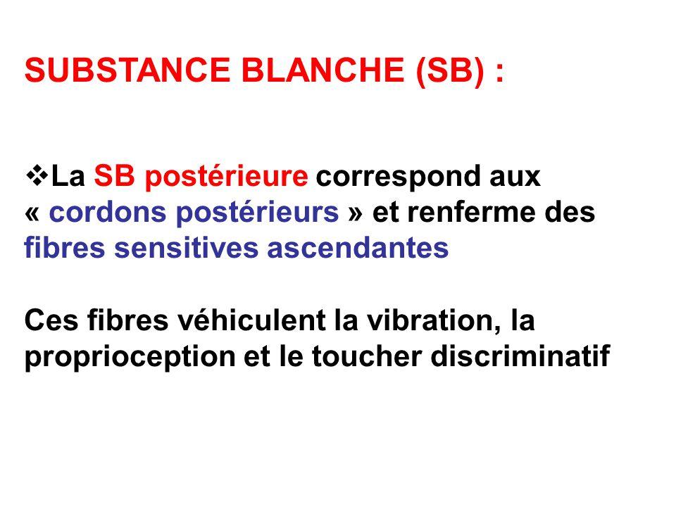 SUBSTANCE BLANCHE (SB) : La SB postérieure correspond aux « cordons postérieurs » et renferme des fibres sensitives ascendantes Ces fibres véhiculent la vibration, la proprioception et le toucher discriminatif