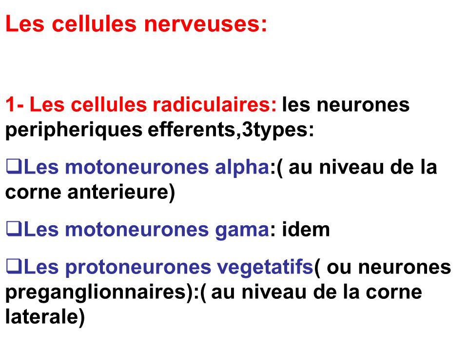 Les cellules nerveuses: 1- Les cellules radiculaires: les neurones peripheriques efferents,3types: Les motoneurones alpha:( au niveau de la corne anterieure) Les motoneurones gama: idem Les protoneurones vegetatifs( ou neurones preganglionnaires):( au niveau de la corne laterale)