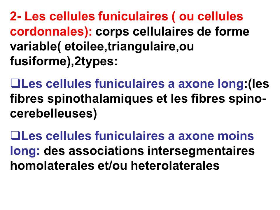 2- Les cellules funiculaires ( ou cellules cordonnales): corps cellulaires de forme variable( etoilee,triangulaire,ou fusiforme),2types: Les cellules funiculaires a axone long:(les fibres spinothalamiques et les fibres spino- cerebelleuses) Les cellules funiculaires a axone moins long: des associations intersegmentaires homolaterales et/ou heterolaterales