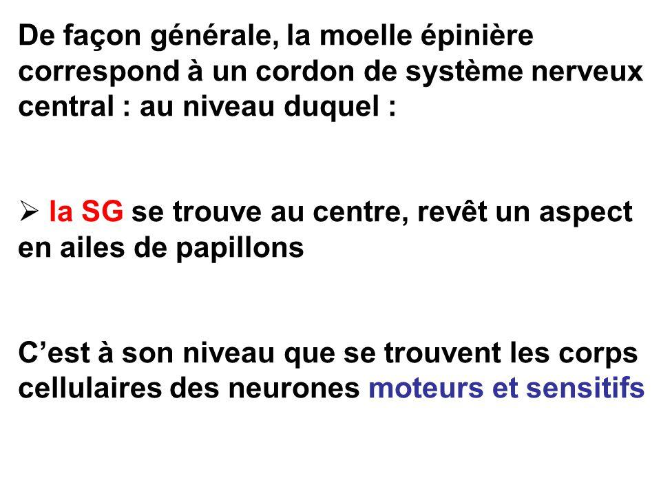 De façon générale, la moelle épinière correspond à un cordon de système nerveux central : au niveau duquel : la SG se trouve au centre, revêt un aspect en ailes de papillons Cest à son niveau que se trouvent les corps cellulaires des neurones moteurs et sensitifs