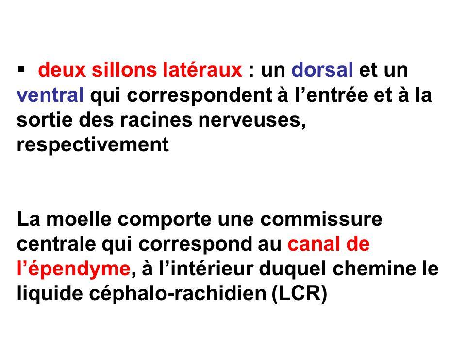 deux sillons latéraux : un dorsal et un ventral qui correspondent à lentrée et à la sortie des racines nerveuses, respectivement La moelle comporte une commissure centrale qui correspond au canal de lépendyme, à lintérieur duquel chemine le liquide céphalo-rachidien (LCR)