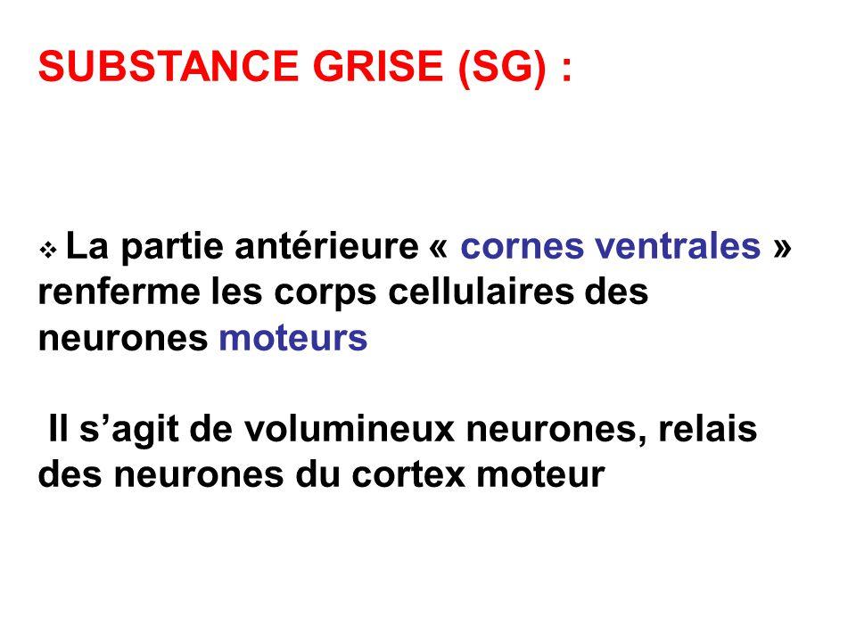 SUBSTANCE GRISE (SG) : La partie antérieure « cornes ventrales » renferme les corps cellulaires des neurones moteurs Il sagit de volumineux neurones, relais des neurones du cortex moteur