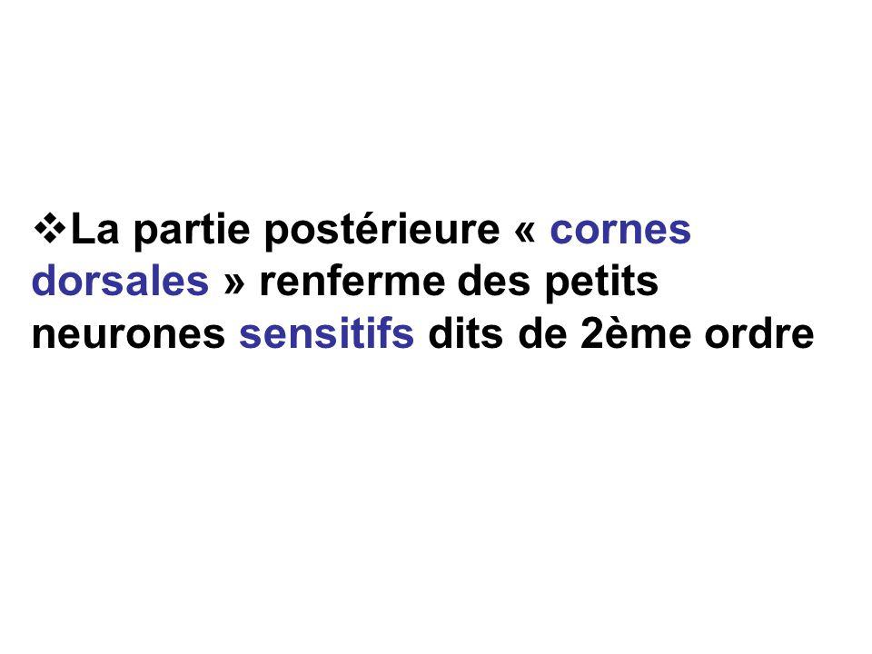 La partie postérieure « cornes dorsales » renferme des petits neurones sensitifs dits de 2ème ordre