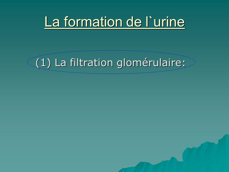 La formation de l`urine (1) La filtration glomérulaire: (1) La filtration glomérulaire: