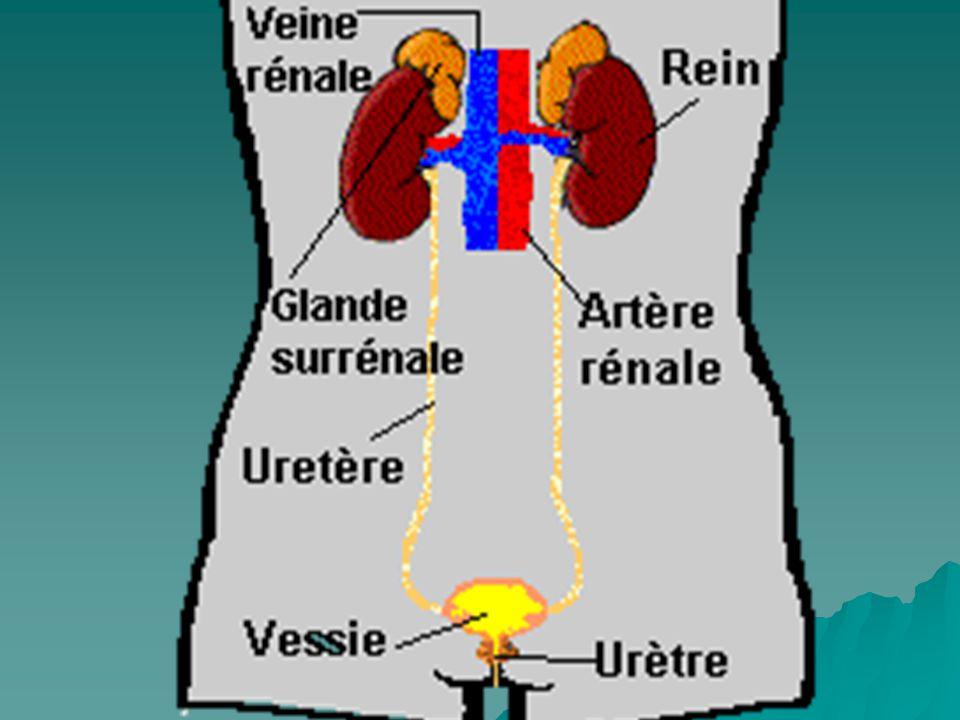 (3) Excretion des acides (acidité titrable) Cest lacidification des urines Pour un volume urinaire de 1,5 L,une quantité inferieur à 1% seulement de H+ peuvent être excrétés sous forme libre.