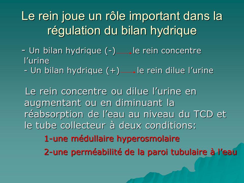Le rein joue un rôle important dans la régulation du bilan hydrique - Un bilan hydrique (-) le rein concentre lurine - Un bilan hydrique (+) le rein d