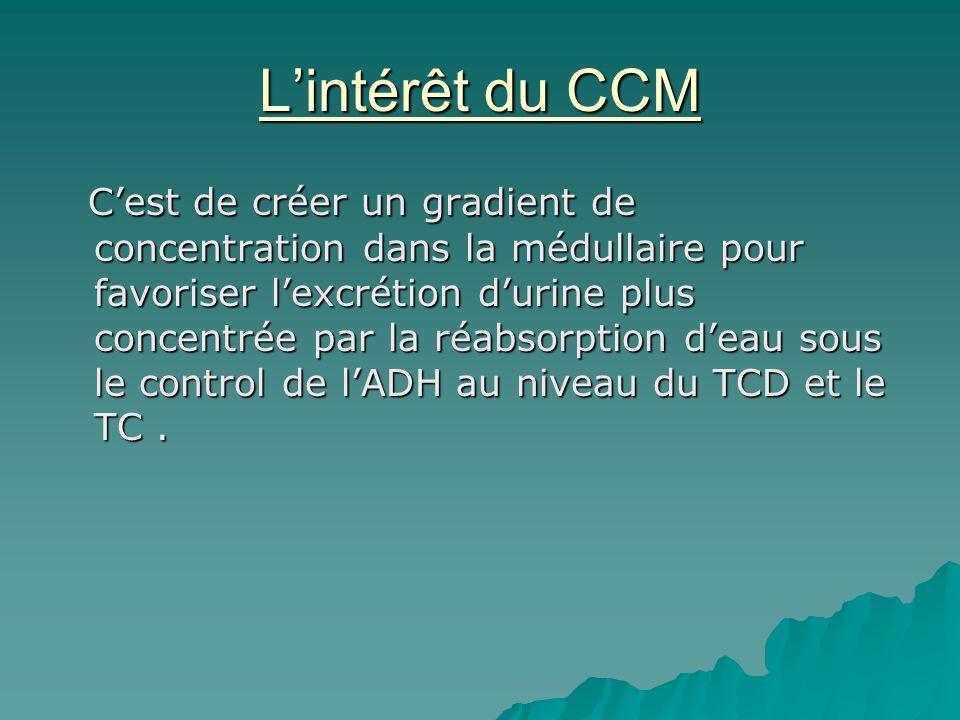 Lintérêt du CCM Cest de créer un gradient de concentration dans la médullaire pour favoriser lexcrétion durine plus concentrée par la réabsorption dea