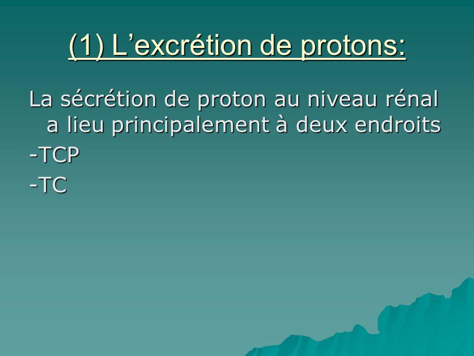 (1) Lexcrétion de protons: La sécrétion de proton au niveau rénal a lieu principalement à deux endroits -TCP-TC