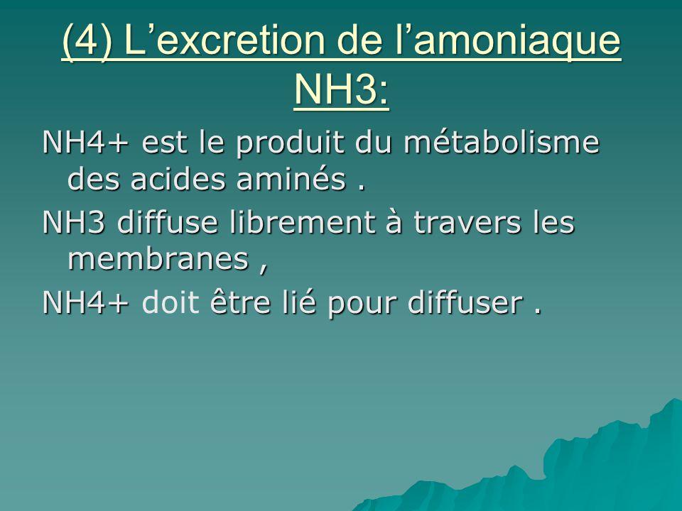 (4) Lexcretion de lamoniaque NH3: NH4+ est le produit du métabolisme des acides aminés. NH3 diffuse librement à travers les membranes, NH4+ être lié p