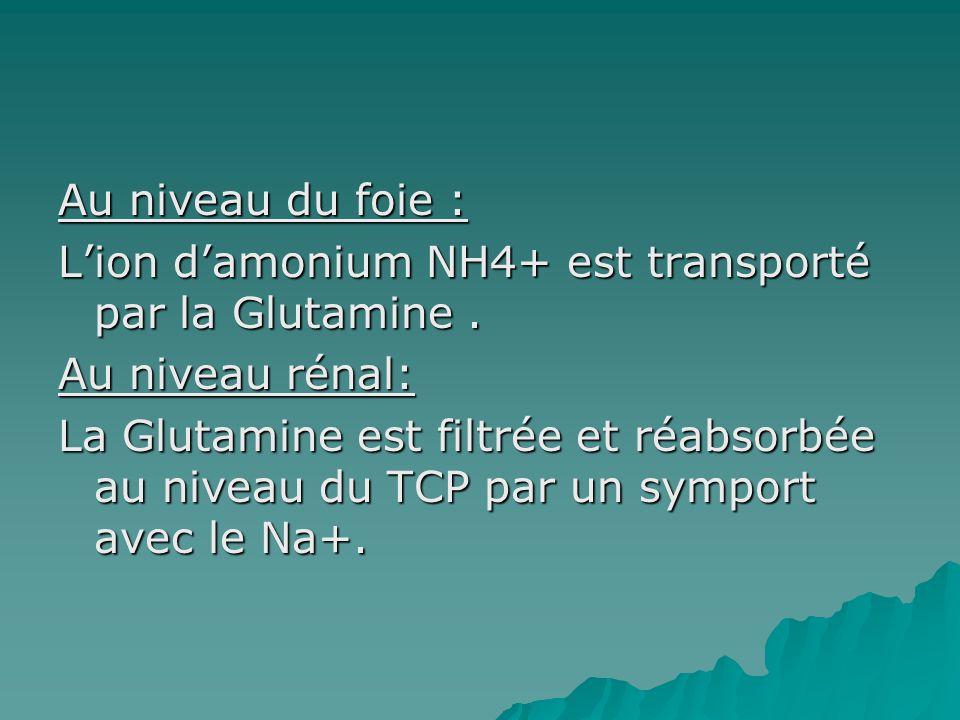 Au niveau du foie : Lion damonium NH4+ est transporté par la Glutamine. Au niveau rénal: La Glutamine est filtrée et réabsorbée au niveau du TCP par u