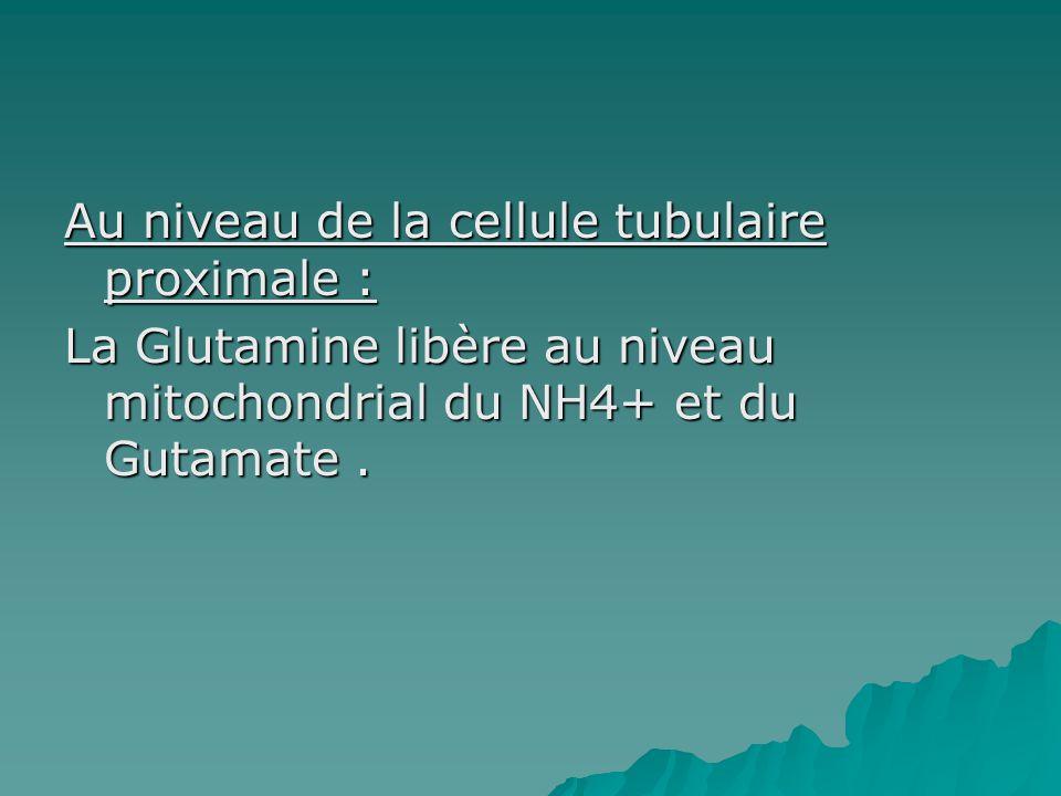 Au niveau de la cellule tubulaire proximale : La Glutamine libère au niveau mitochondrial du NH4+ et du Gutamate.