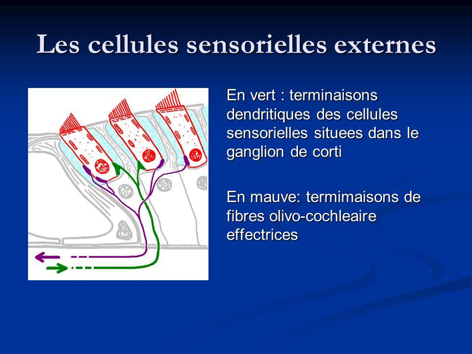 Les cellules sensorielles externes En vert : terminaisons dendritiques des cellules sensorielles situees dans le ganglion de corti En mauve: termimaisons de fibres olivo-cochleaire effectrices