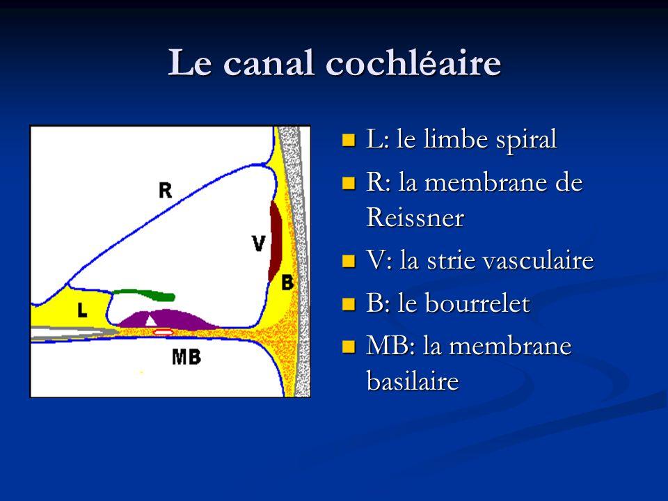 Le canal cochl é aire L: le limbe spiral L: le limbe spiral R: la membrane de Reissner R: la membrane de Reissner V: la strie vasculaire V: la strie vasculaire B: le bourrelet B: le bourrelet MB: la membrane basilaire MB: la membrane basilaire