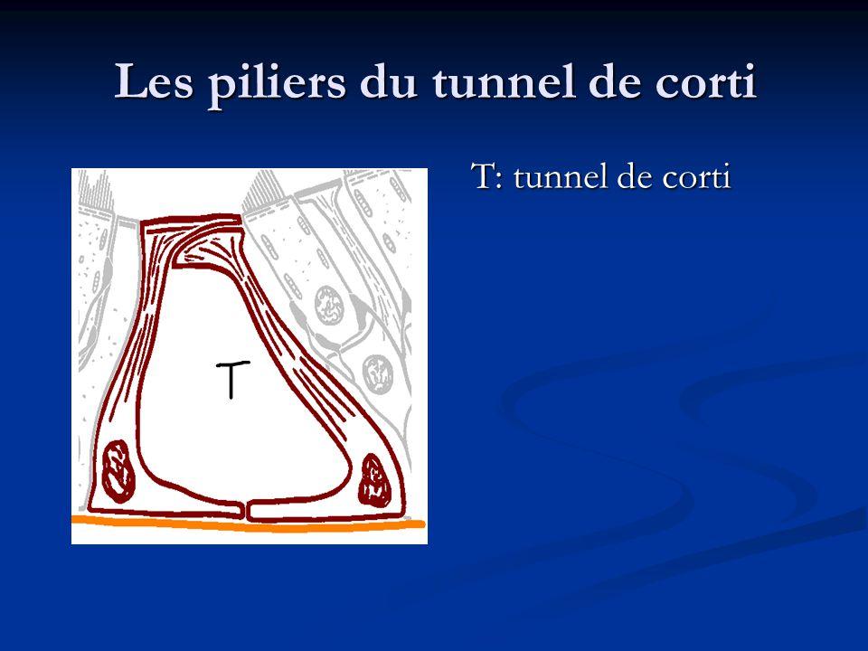 Les piliers du tunnel de corti T: tunnel de corti