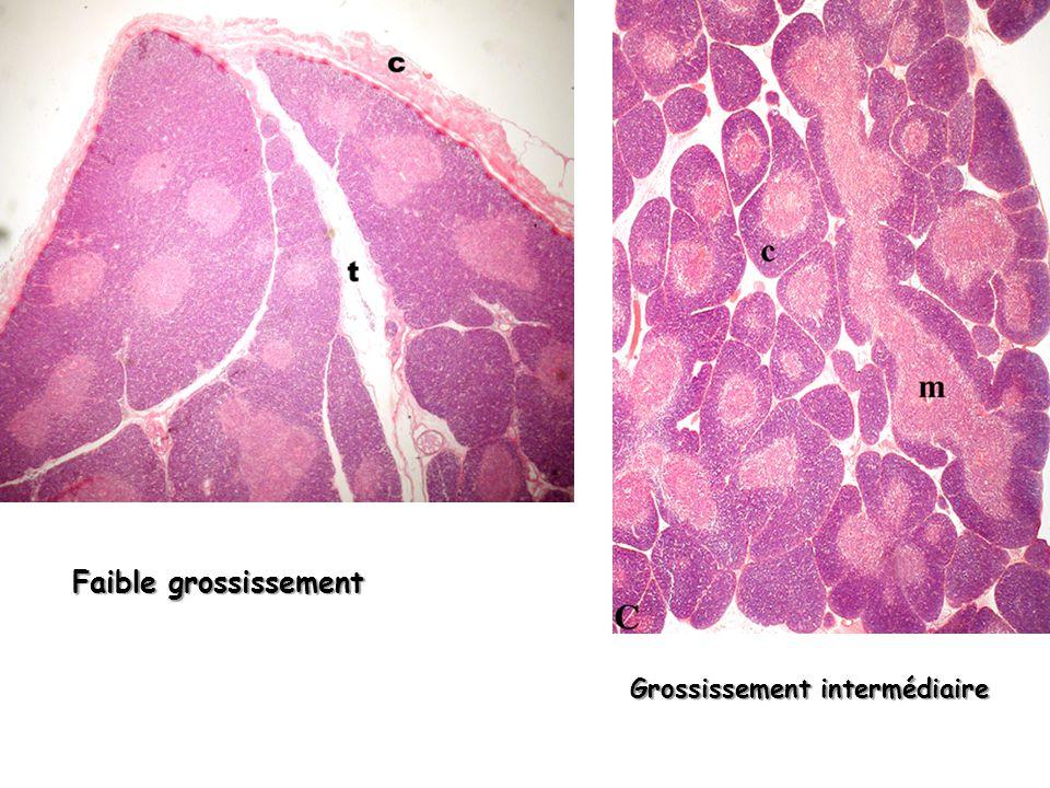 2 – la médullaire Cell épithéliales réticulées ++ Cell épithéliales réticulées ++ Corpuscules de Hassal kératine Thymocytes matures Très rares lymphocytes B II – Structure histologique