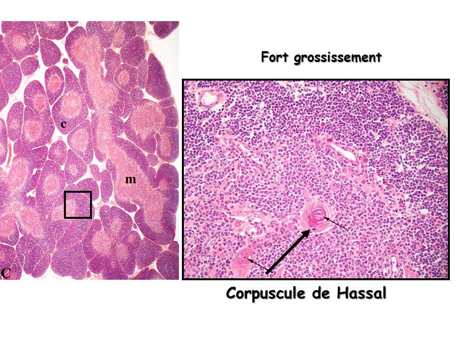 3 - vascularisation Réseau capillaire Cortex superficiel Cortex profond Veinules post-capillaires Médullaire artériole veinule II – Structure histologique