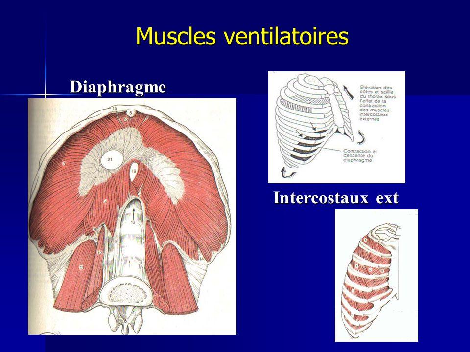 Diaphragme Intercostaux ext Muscles ventilatoires Muscles ventilatoires