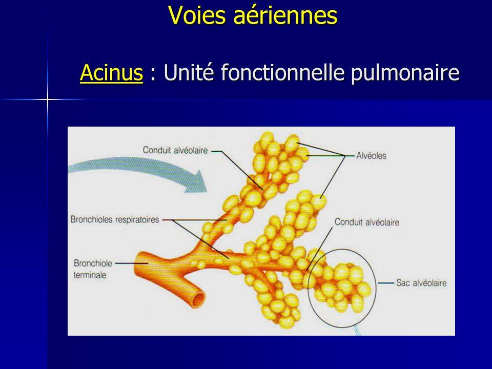 Voies aériennes Acinus : Unité fonctionnelle pulmonaire