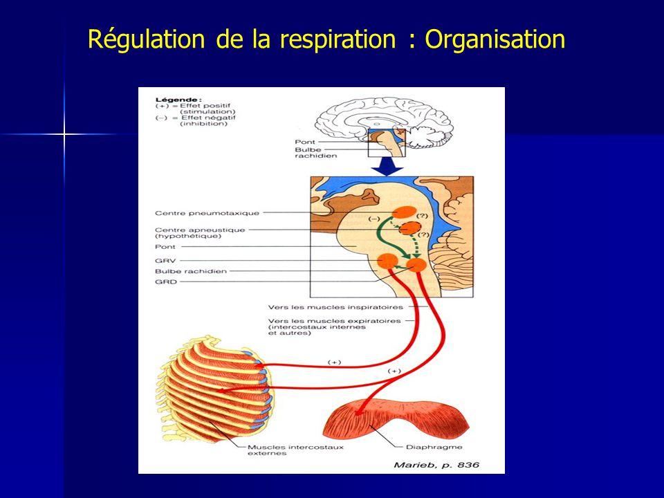 Régulation de la respiration : Organisation
