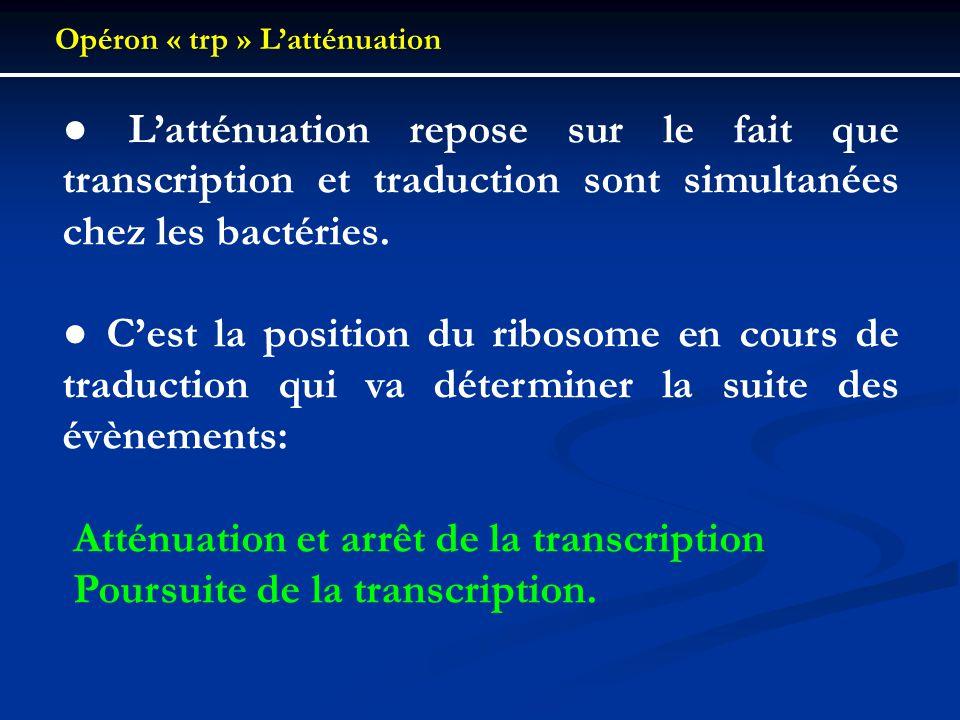 Opéron « trp » Latténuation Latténuation repose sur le fait que transcription et traduction sont simultanées chez les bactéries. Cest la position du r