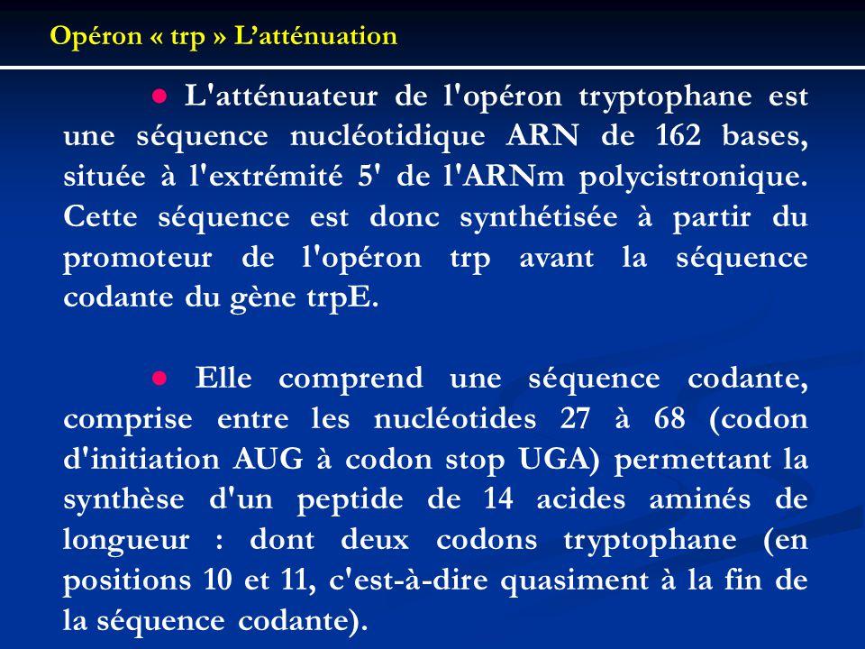 L'atténuateur de l'opéron tryptophane est une séquence nucléotidique ARN de 162 bases, située à l'extrémité 5' de l'ARNm polycistronique. Cette séquen