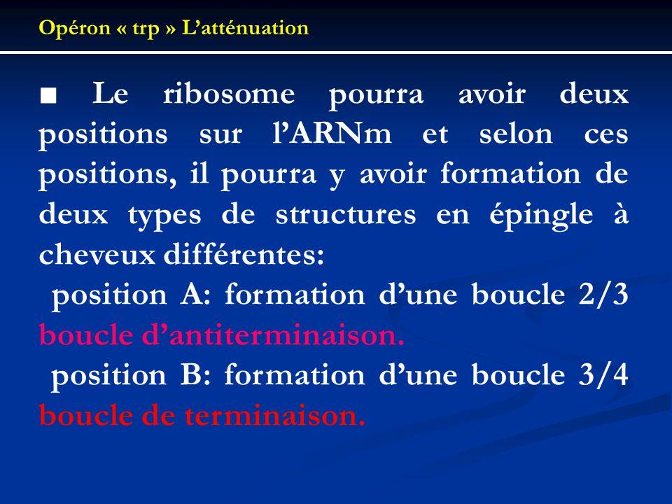 Opéron « trp » Latténuation Le ribosome pourra avoir deux positions sur lARNm et selon ces positions, il pourra y avoir formation de deux types de str