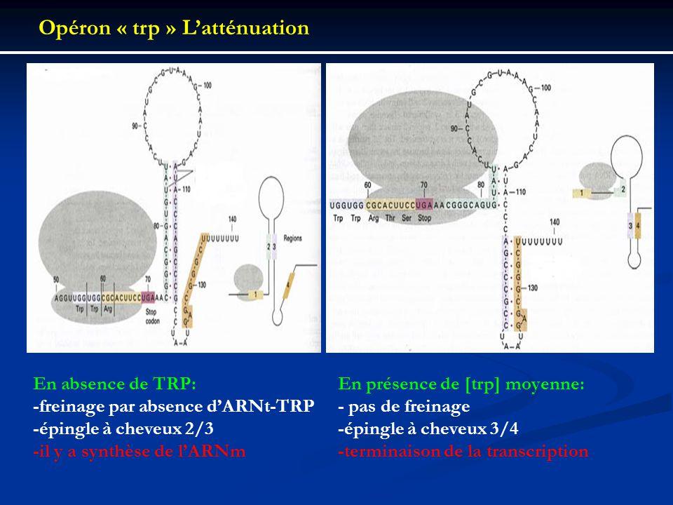 En absence de TRP: -freinage par absence dARNt-TRP -épingle à cheveux 2/3 -il y a synthèse de lARNm En présence de [trp] moyenne: - pas de freinage -é