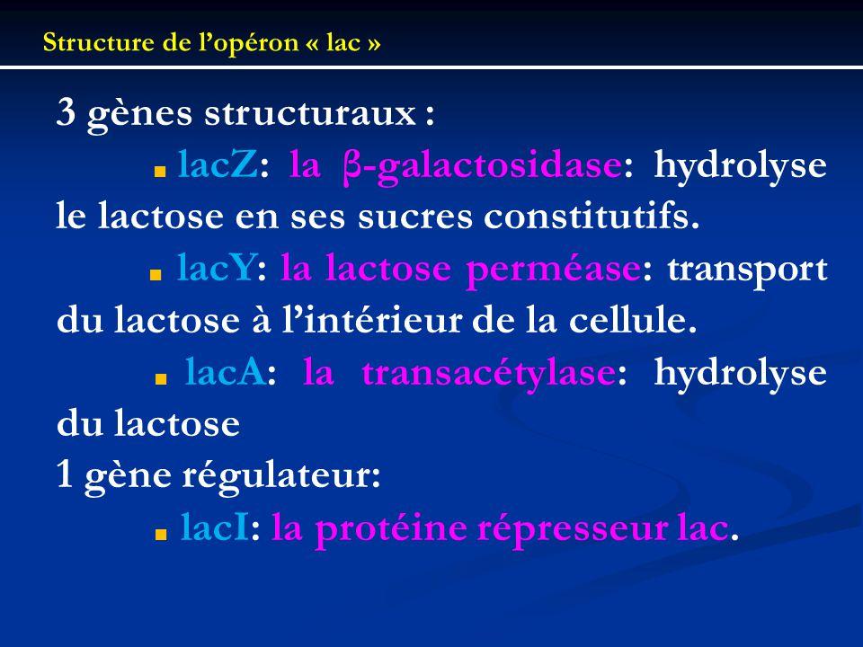 Structure de lopéron « lac » 3 gènes structuraux : lacZ: la β-galactosidase: hydrolyse le lactose en ses sucres constitutifs. lacY: la lactose perméas