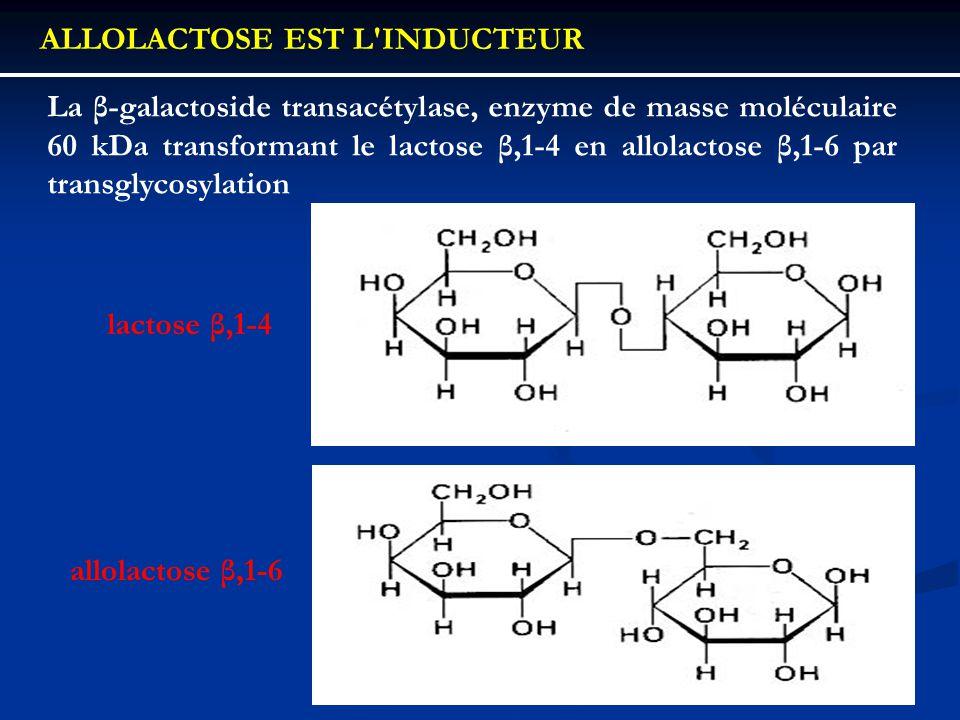 ALLOLACTOSE EST L'INDUCTEUR La β-galactoside transacétylase, enzyme de masse moléculaire 60 kDa transformant le lactose β,1-4 en allolactose β,1-6 par