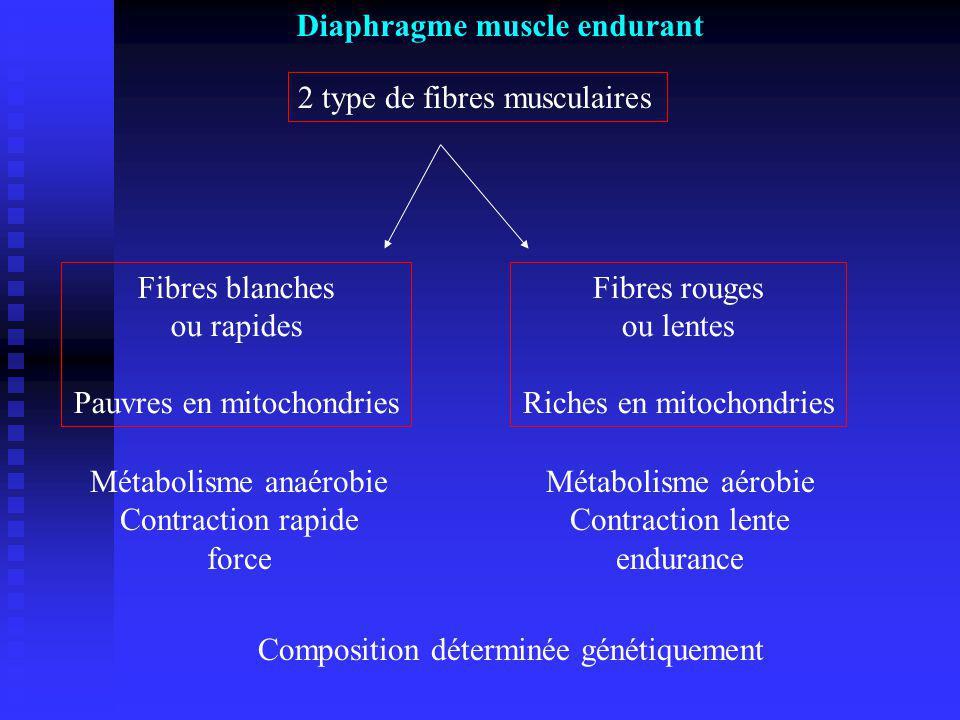 2 type de fibres musculaires Fibres blanches ou rapides Pauvres en mitochondries Fibres rouges ou lentes Riches en mitochondries Métabolisme anaérobie