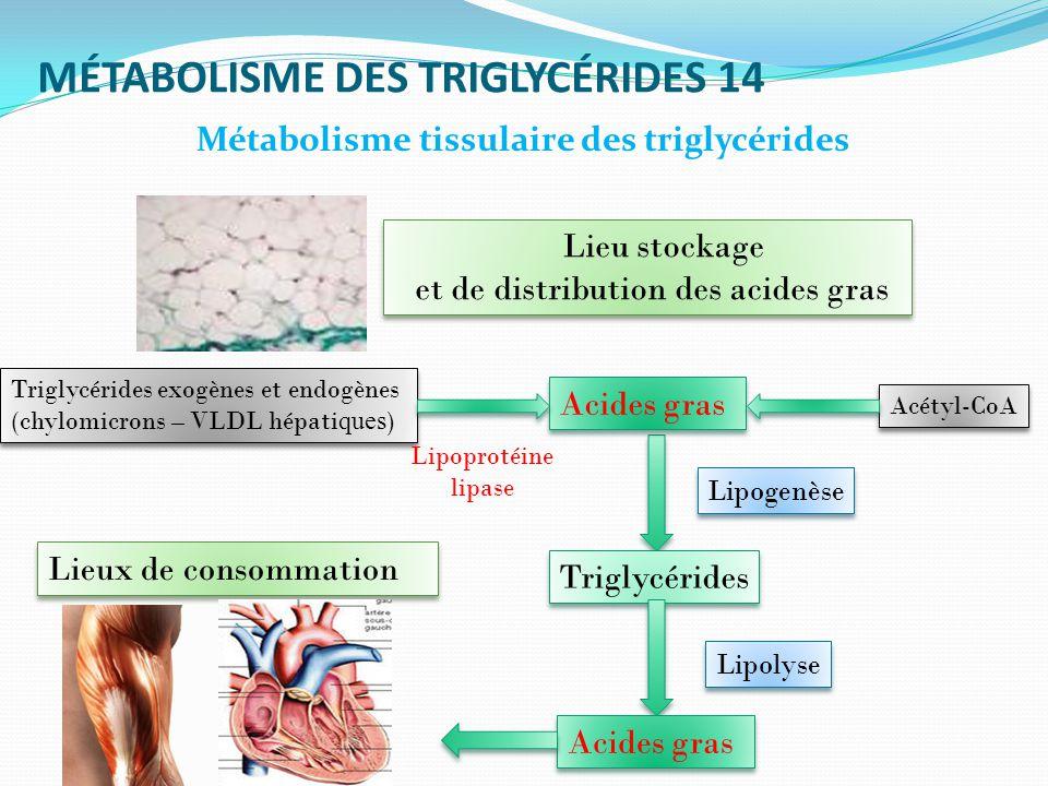 MÉTABOLISME DES TRIGLYCÉRIDES 14 Métabolisme tissulaire des triglycérides Lieu stockage et de distribution des acides gras Lieu stockage et de distribution des acides gras Lieux de consommation Acides gras Triglycérides exogènes et endogènes (chylomicrons – VLDL hépati ques ) Lipoprotéine lipase Acétyl-CoA Triglycérides Acides gras Lipolyse Lipogenèse