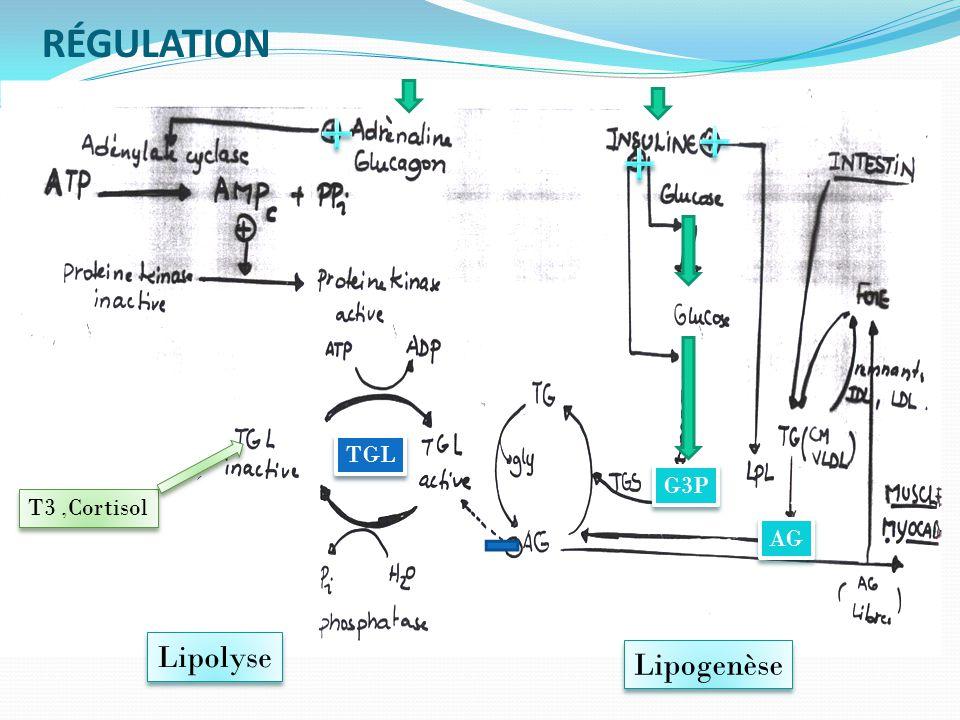 RÉGULATION Lipogenèse Lipolyse T3,Cortisol G3P AG TGL