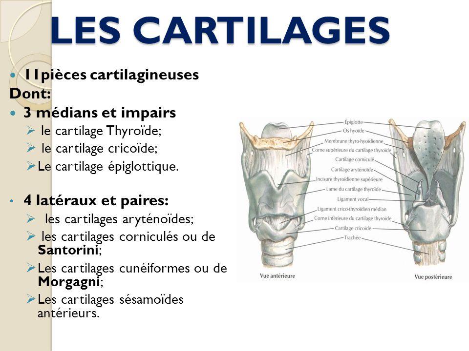 LES CARTILAGES 11pièces cartilagineuses Dont: 3 médians et impairs le cartilage Thyroïde; le cartilage cricoïde; Le cartilage épiglottique. 4 latéraux
