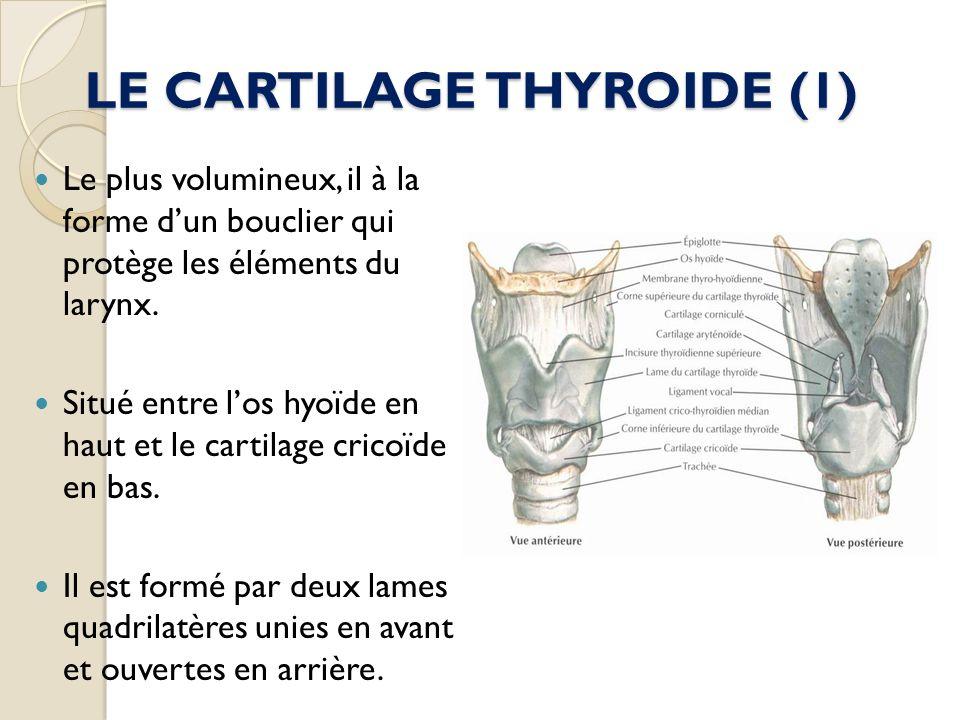 LE CARTILAGE THYROIDE (1) Le plus volumineux, il à la forme dun bouclier qui protège les éléments du larynx. Situé entre los hyoïde en haut et le cart