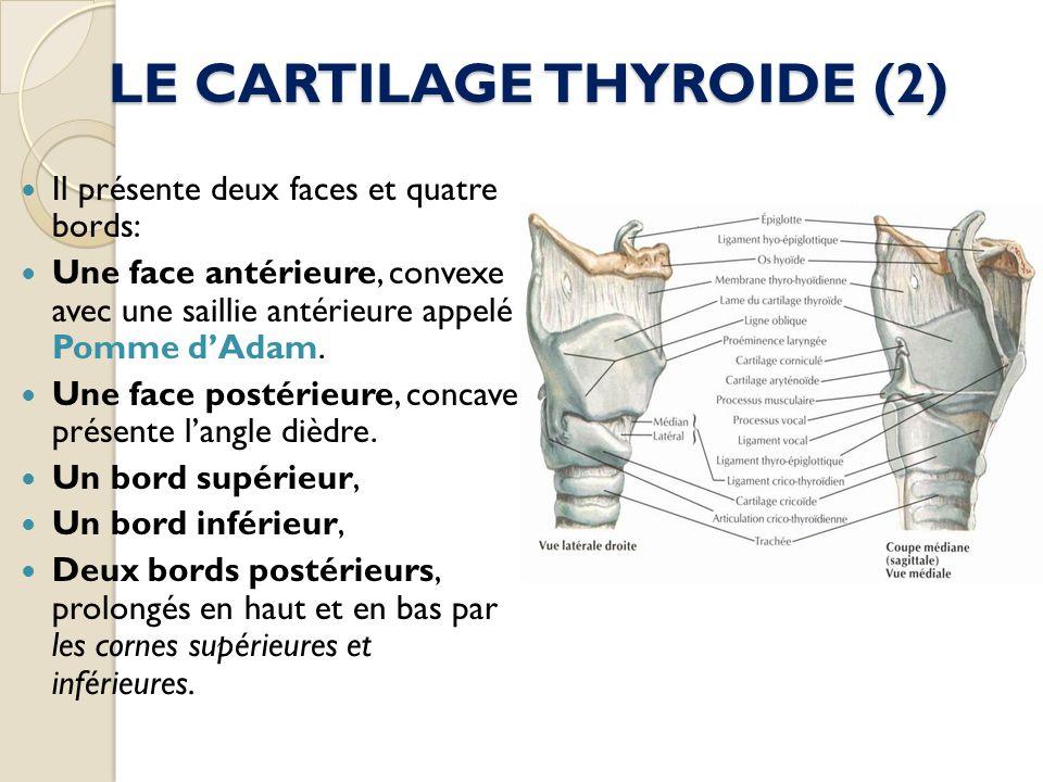 LE CARTILAGE THYROIDE (2) Il présente deux faces et quatre bords: Une face antérieure, convexe avec une saillie antérieure appelé Pomme dAdam. Une fac