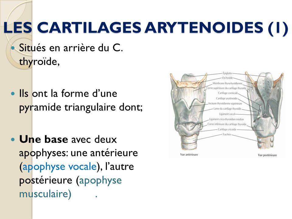 LES CARTILAGES ARYTENOIDES (1) Situés en arrière du C. thyroïde, Ils ont la forme dune pyramide triangulaire dont; Une base avec deux apophyses: une a