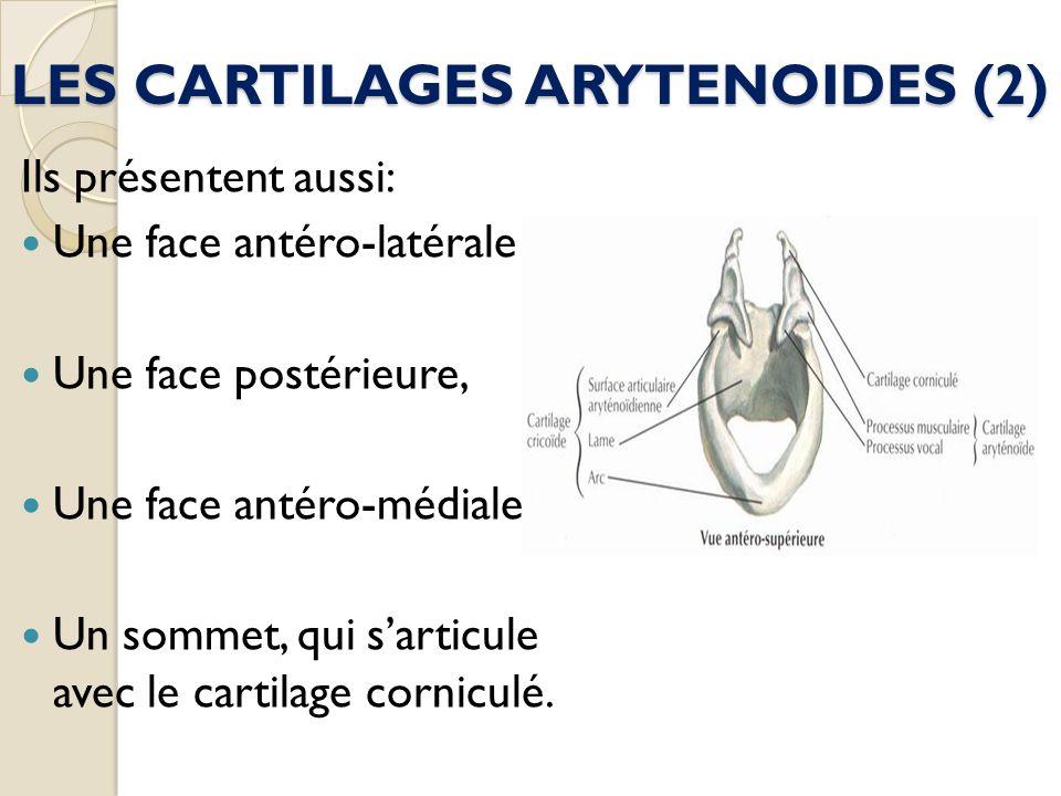 LES CARTILAGES ARYTENOIDES (2) Ils présentent aussi: Une face antéro-latérale Une face postérieure, Une face antéro-médiale, Un sommet, qui sarticule