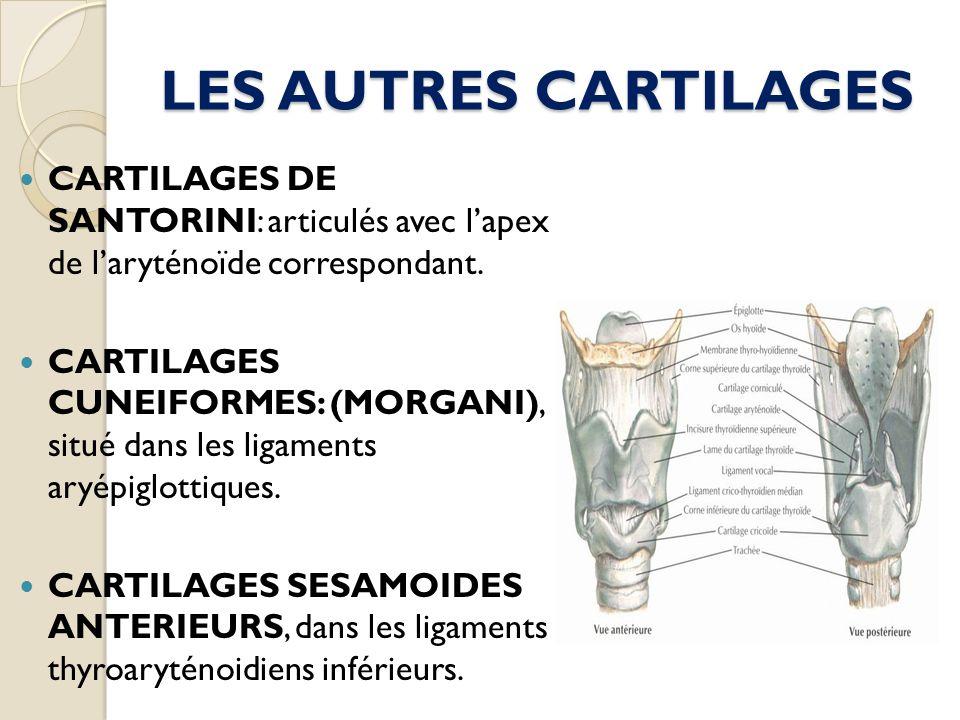 LES AUTRES CARTILAGES CARTILAGES DE SANTORINI: articulés avec lapex de laryténoïde correspondant. CARTILAGES CUNEIFORMES: (MORGANI), situé dans les li