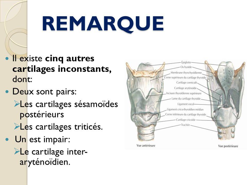 REMARQUE Il existe cinq autres cartilages inconstants, dont: Deux sont pairs: Les cartilages sésamoïdes postérieurs Les cartilages triticés. Un est im