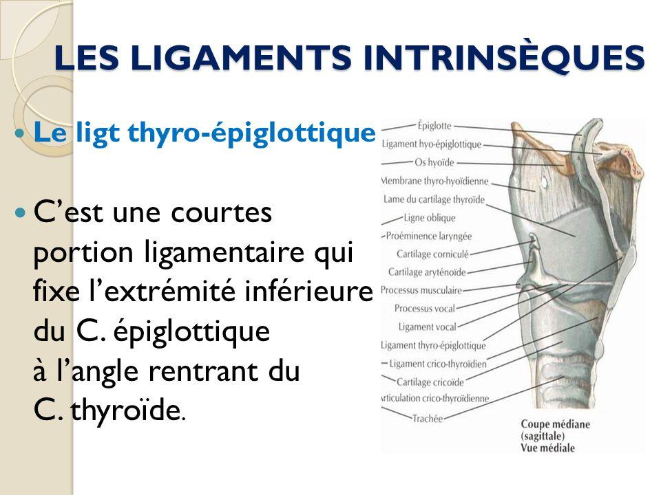 LES LIGAMENTS INTRINSÈQUES Le ligt thyro-épiglottique Cest une courtes portion ligamentaire qui fixe lextrémité inférieure du C. épiglottique à langle
