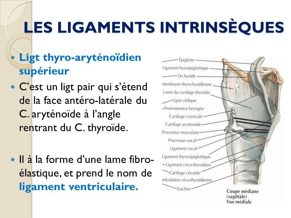 LES LIGAMENTS INTRINSÈQUES Ligt thyro-aryténoïdien supérieur Cest un ligt pair qui sétend de la face antéro-latérale du C. aryténoïde à langle rentran