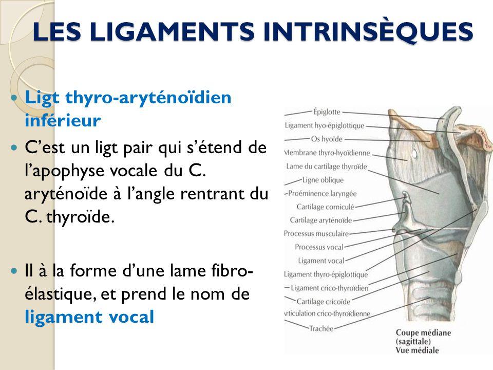 LES LIGAMENTS INTRINSÈQUES Ligt thyro-aryténoïdien inférieur Cest un ligt pair qui sétend de lapophyse vocale du C. aryténoïde à langle rentrant du C.