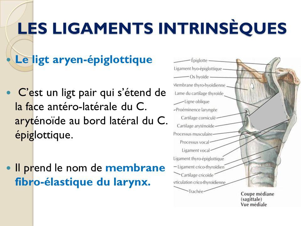 LES LIGAMENTS INTRINSÈQUES Le ligt aryen-épiglottique Cest un ligt pair qui sétend de la face antéro-latérale du C. aryténoïde au bord latéral du C. é