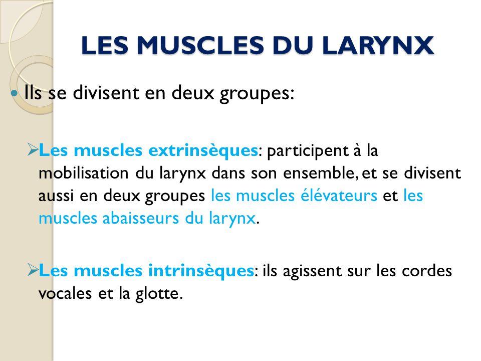 LES MUSCLES DU LARYNX Ils se divisent en deux groupes: Les muscles extrinsèques: participent à la mobilisation du larynx dans son ensemble, et se divi