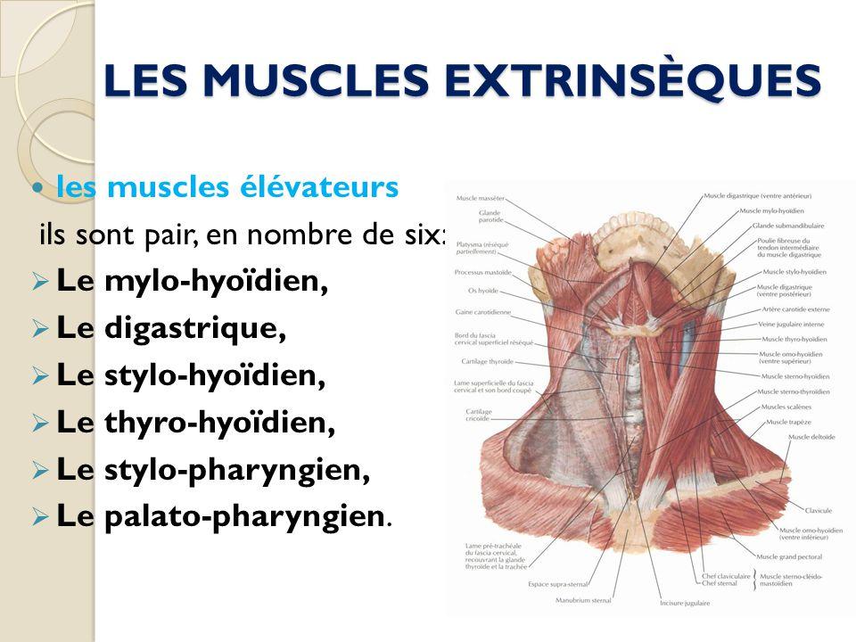 LES MUSCLES EXTRINSÈQUES les muscles élévateurs ils sont pair, en nombre de six: Le mylo-hyoïdien, Le digastrique, Le stylo-hyoïdien, Le thyro-hyoïdie