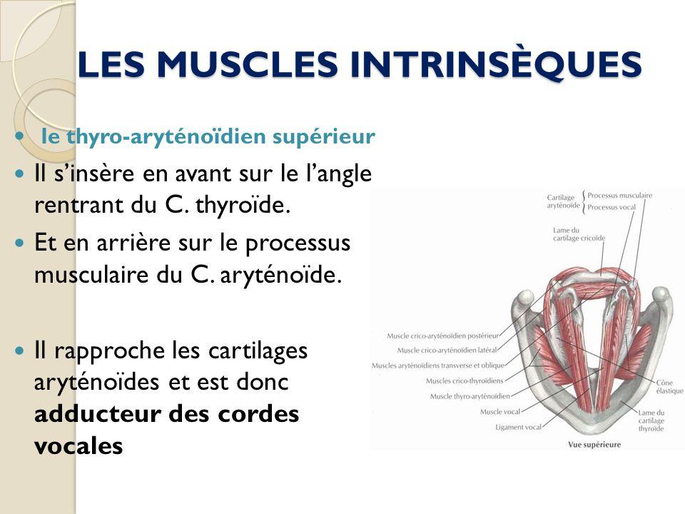 LES MUSCLES INTRINSÈQUES le thyro-aryténoïdien supérieur Il sinsère en avant sur le langle rentrant du C. thyroïde. Et en arrière sur le processus mus