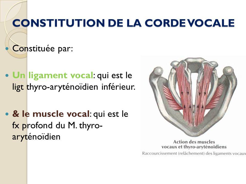 CONSTITUTION DE LA CORDE VOCALE Constituée par: Un ligament vocal: qui est le ligt thyro-aryténoïdien inférieur. & le muscle vocal: qui est le fx prof
