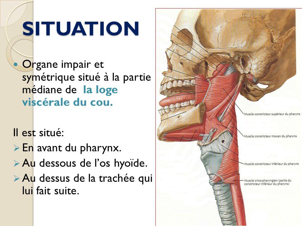 SITUATION Organe impair et symétrique situé à la partie médiane de la loge viscérale du cou. Il est situé: En avant du pharynx. Au dessous de los hyoï