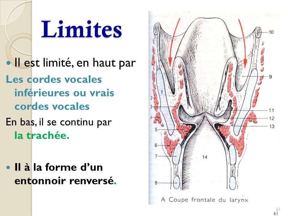 Limites Il est limité, en haut par Les cordes vocales inférieures ou vrais cordes vocales En bas, il se continu par la trachée. Il à la forme dun ento
